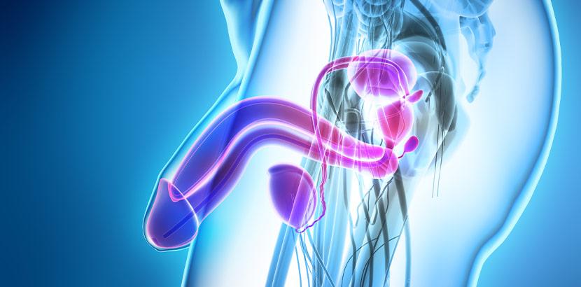 Eine medizinische Illustration von Schwellkörper, Harnröhre, Prostata und Hoden.