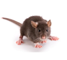 Mäuse / Ratten